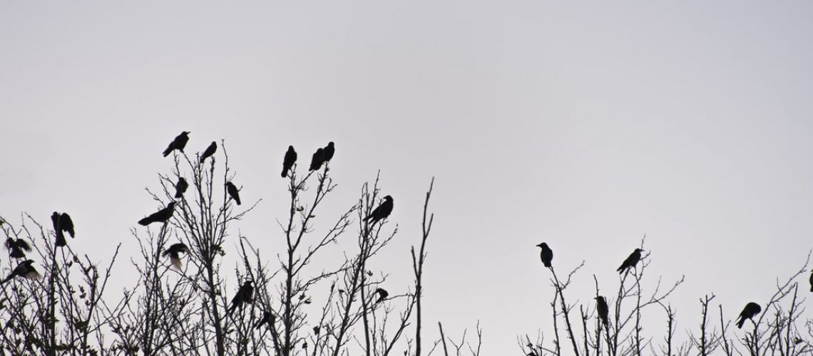 crows on trees
