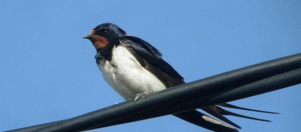 swallow-image